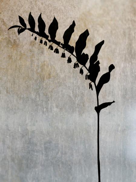 © Lena Granefelt Titel: Jätterams - Polygonatum x Hybridum, 2012 Bildmått: 40 x 50 cm / Inramad 50x70 cm Teknik: Arkivbeständig pigmentutskrift Upplaga: 20. Signerad Pris: SEK 6 000