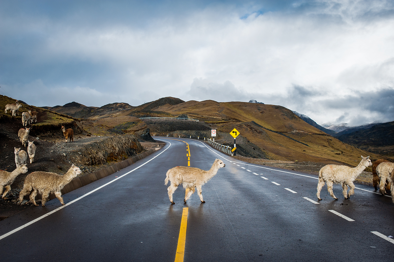 © Johannes Frandsen Titel: Lama, Peru 2014.  Bildmått: 30×40 cm  Teknik: Arkivbeständig pigmentbläckutskrift  Montering: Träram 61×91 cm  Upplaga: 20 Signerad: Ja Pris: SEK 4 200