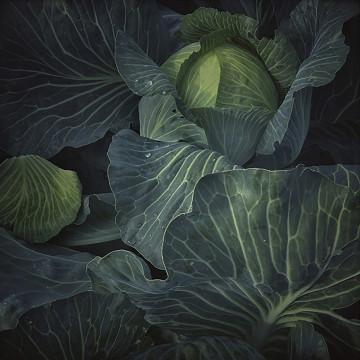 © Pernille Tofte Titel: The Cabbage Bildmått: 23 x 23 cm Teknik: Arkivbeständig pigmentbläckutskrift Montering: Träram med passepartout 40x40 cm Upplaga: 10, signerad Pris: SEK 3.700