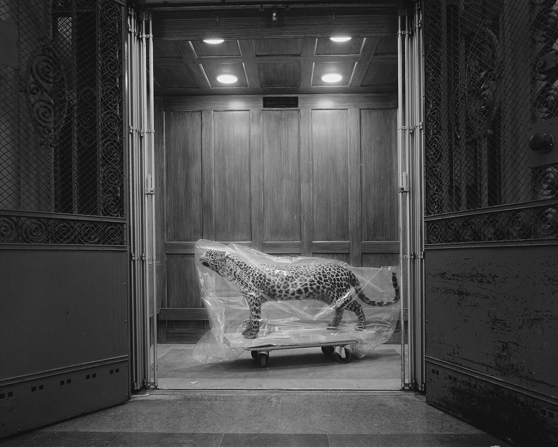 © Nils Bergendal. Leopard, Ur serien The Name of Us.  Bildmått: 88×110 cm / OBS! Oinramad print. Arkivbeständig pigmentbläckutskrift. Upplaga:  4/8. Signerad.  Pris: SEK 14 000
