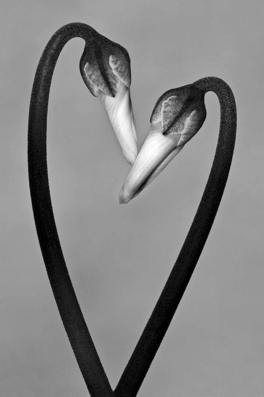 © Sören Fröberg. Titel: Cyclamen  Bildmått: 36x54 cm. Teknik: Arkivbeständig pigmentbläckutskrift Montering: Träram med passepartout  50x70cm. Upplaga: 30  Signerad: Ja. Pris: SEK 4500