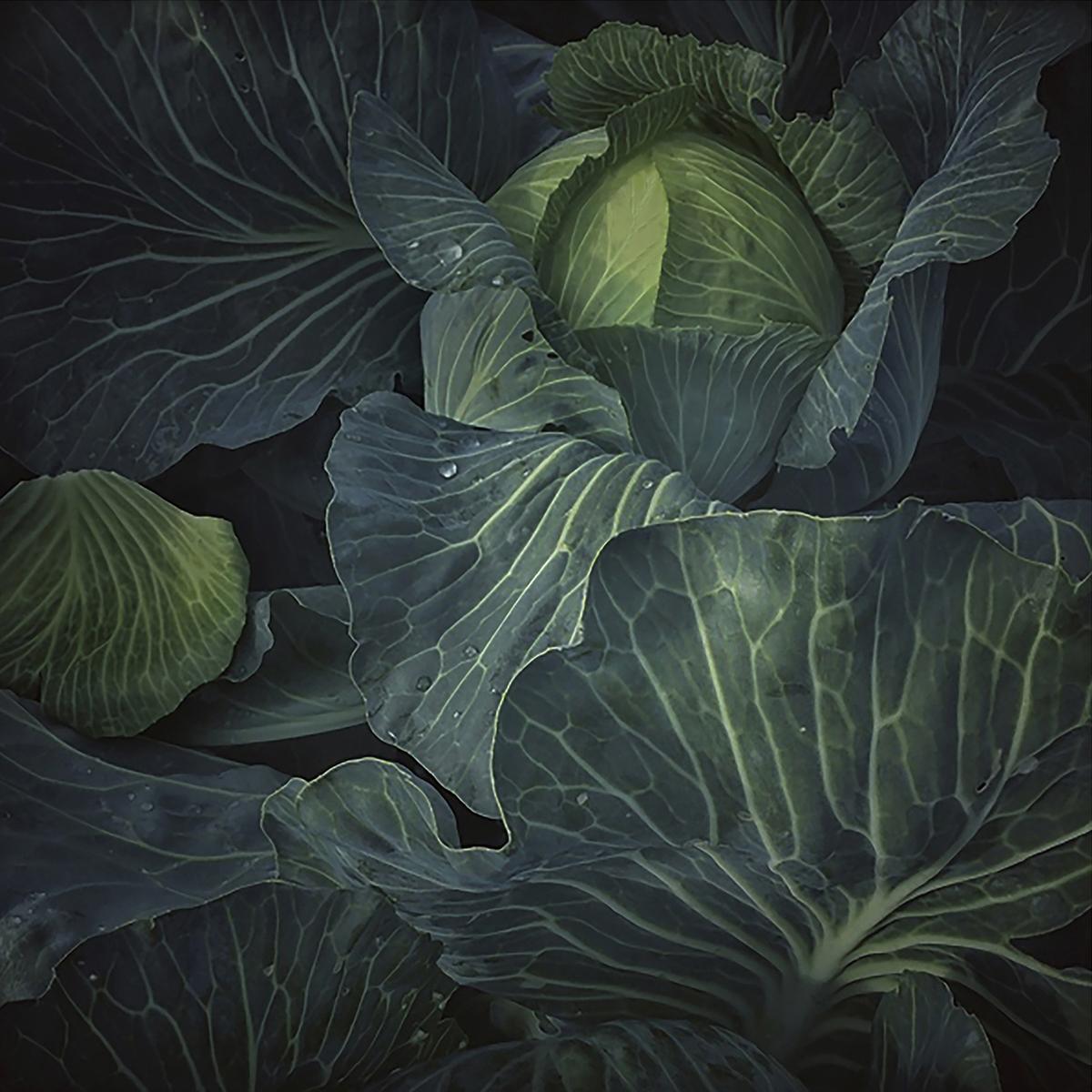 © Pernille Tofte Titel: The Cabbage Bildmått: 23 x 23 cm Teknik: Arkivbeständig pigmentbläckutskrift Montering: Träram med passepartout 40x40 cm Upplaga: 15, signerad Pris: SEK 3 900