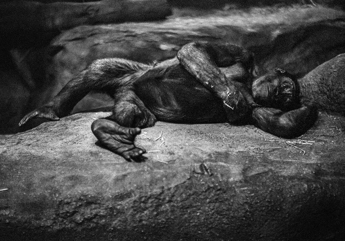 © Susanne Kronholm   Ur serien Gorillas Bildmått: 30x50 cm / Inramad med art glas 53,5 x 66,5 cm Arkivbeständig pigmentbläckutskrift. Upplaga: 1/10 Signerad Pris: SEK 6 000