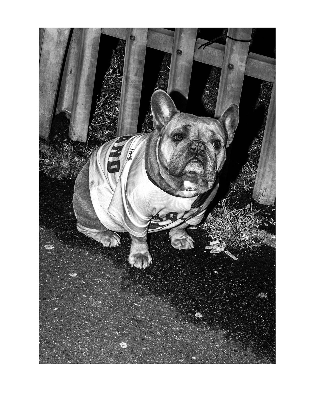 71. Daniel Nilsson. Millwall Bulldog, London 2018.  Utropspris: 3 000:- Bildmått: 30×42,5 cm / Inramad 40×50 cm. Arkivbeständig pigmentbläckutskrift. Edition 1/20. Signerad.